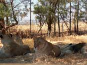 Lions, relaxing...