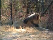 Stuborn Lion, don't wana give a pose
