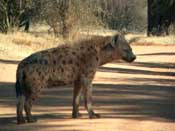 Spotted Hyena (One of a kind)