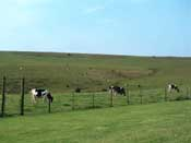 Cows Grazing in the Field by the farm House
